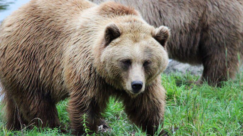 Få bjørner blir født